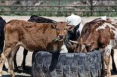 România poate exporta bovine vii către Turcia