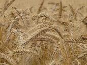 Producția agricolă a României a fost de 69 miliarde euro anul trecut, în scădere cu 6,6% comparativ cu 2014