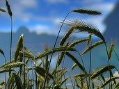 Prețul grâului rusesc scade din cauza producției mari din România și Ucraina