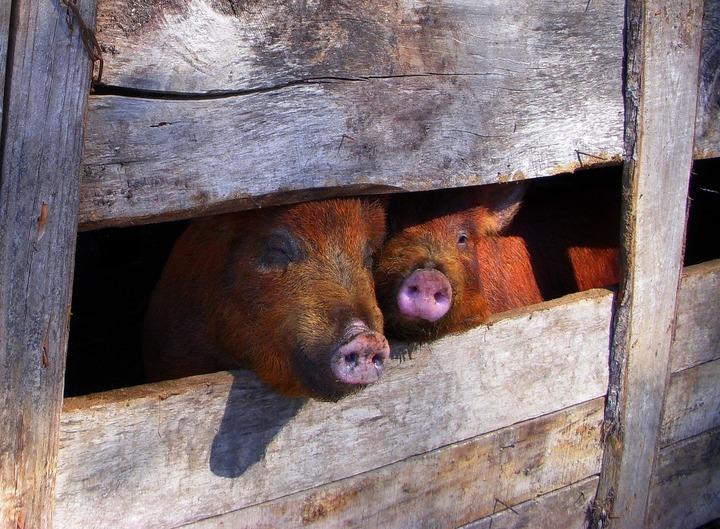 Doar 40% din fermele din România pot exporta porci vii în condițiile impuse de Comisia Europeană