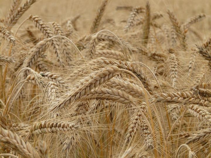 Consiliul Concurenței a închis investigația pe piața tradingului de cereale fără a aplica nicio amendă
