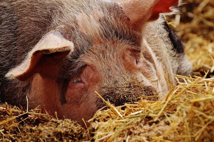 Ministru: Sunt toate semnele că în Republica Moldova este pestă porcină africană! Ce se întâmplă în România, neexistând un vaccin