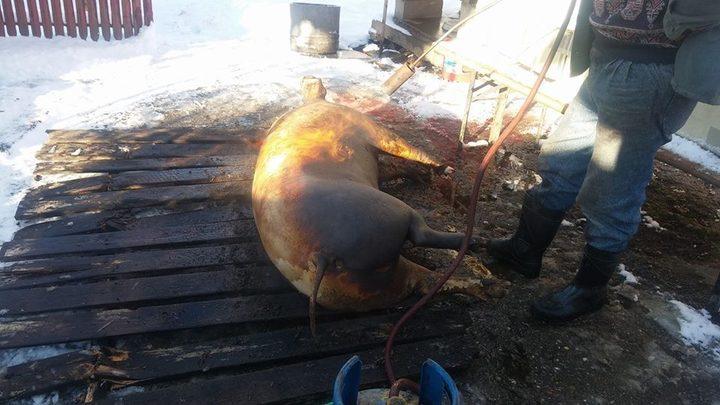 Românii o lasă ''mai moale'' cu tăiatul porcilor în curte și se îndreaptă spre carnea din magazin