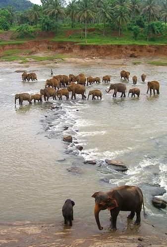 Sri-Lanka-elefanti