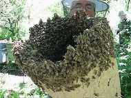 Clipe de groaza pentru un barbat din Botosani: Atacat de un roi de albine! A ajuns de urgenta la spital