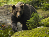 Un urs, lovit de o masina in Busteni! Ce a urmat e dincolo de orice imaginatie! Autoritatile sunt in alerta!
