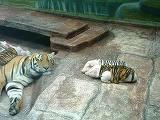 O tigroaica a fatat prematur, iar puii ei au murit! A intrat in depresie si ajunsese in pericol de moarte! Ce au facut ingrijitorii de la ZOO e emotionant si i-a salvat viata!