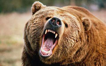 Stare de alerta in doua comune din tara! De o saptamana un urs ataca gospodariile localnicilor si le mananca animalele