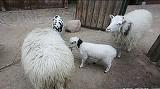 Doi romani au furat o capra si o oaie de la Gradina Zoologica din Berlin si le-au mancat