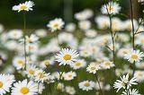 Ce flori prefera femeile in functie de zodie?
