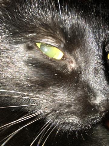 Aceasta este pisica neagra care apare la mormintele de la Bellu! Ultima oara a fost vazuta la locul de veci al Cristinei Stamate! Unii o stiu de frica si spun ca e un semn al necuratului, altii o hranesc si o mangaie VIDEO EXCLUSIV