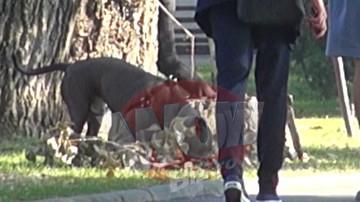 VIDEO EXCLUSIV! La un pas de tragedie! Un inconstient isi plimba pitbull-ul fara lesa si botnita prin Herastrau! Reactia bucurestenilor este incredibila