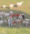 Imaginile verii vin direct din Pipera!!! Gigi Becali si-a facut stana cu 400 de oi si toata ziua si-o petrece printre ele! Milionarul s-a intors la origini si radiaza de fericire in rolul de cioban VIDEO EXCLUSIV
