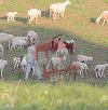 Probleme mari pentru Becali la stana de 400 de oi din Pipera!! Un cioban a fugit cu banii si l-a lasat  pe Gigi cu ochii-n soare VIDEO EXCLUSIV