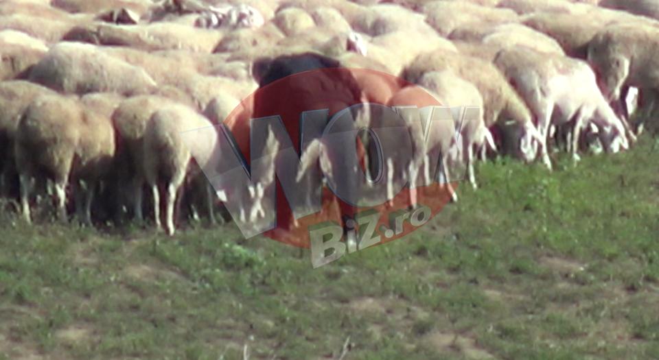 Imaginile lunii septembrie vin din Pipera! Gigi Becali a mers la stana si si-a controlat oile de lapte! S-a imbracat in trening si a facut pe ciobanul VIDEO EXCLUSIV