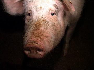 O femeie in toata firea a intrat intr-o noapte in cotetul porcului si si-a facut de cap! Ce-a aflat 9 luni mai tarziu? Ce parea imposibil s-a intamplat