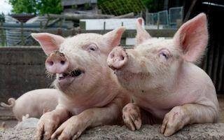 Groaznic! Un pensionar a fost mancat de viu de porcii pe care ii crestea in casa