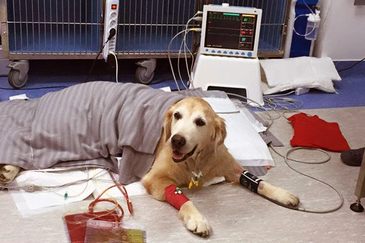 Povestea lui Jean, un Golden Retriever, salvat de la moarte de chirurgii umani. Cainele Ilenei Badiu a supravietuit cu ajutorul oamenilor, desi medicii veterinari nu i-au mai dat nicio sansa