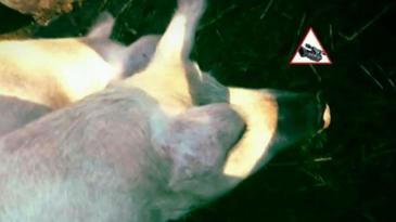 Imagini incredibile intr-o localitate de langa Bucuresti. Porci plini de rani, crescuti in conditii mizere, vanduti pentru masa de Craciun