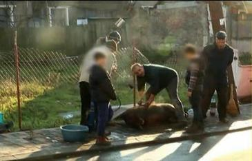 Un cartier din Iasi a fost la un pas de rascoala dupa ce o familie si-a taiat porcul in mijlocul strazii! Socati de ce vad, vecinii si-au facut cruce!