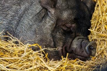 A vrut sa taie un porc, iar dupa cateva minute a fost gasit inghetat langa animal