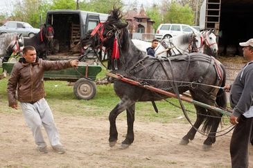 Scene de o cruzime fara margini la Tarlungeni - Caii scosi la vanzare sunt batuti si loviti cu biciul in ultimul hal - Imagini dureroase