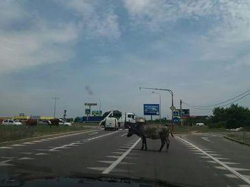 Fantastic. O vaca circula nestingherita pe Autostrada Soarelui - Soferii s-au blocat cand au vazut-o