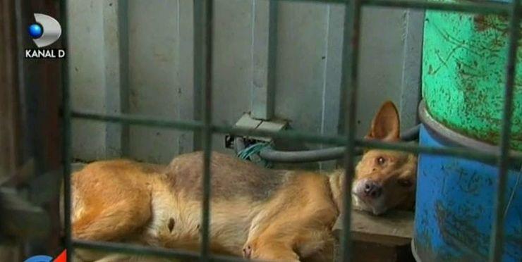 Activitate barbara, denumita intr-un mod civilizat: gestionarea cainilor fara stapan! Se intampla in Romania de ani de zile, iar autoritatile nu numai ca nu opresc aceste cruzimi, dar le mai si autorizeaza.