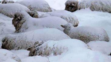 Turma de peste 700 de oi si vaci, blocata in nameti, la peste 1.400 de metri altitudine! Ciobanii cer disperati ajutor