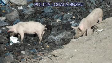 Caz socant, descoperit in Buzau! Porci crescuti printre gunoaie, hraniti cu cadavre de animale, apoi vanduti pe piata - Ce spune crescatorul de animale
