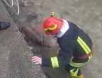 O caprioara a fost salvata de pompieri din apele raului din Zarnesti, Brasov