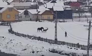 """Toata lumea a distribuit videoclipul cu cerbul """"jucaus"""", insa iata care este povestea adevarata! Animalul ar fi fost ucis de catre tarani! """"L-au omorat si l-au taiat cu un bomfaier!"""""""