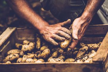 Cartofi din Egipt, cu o bacterie periculoasa, interzisi in Romania
