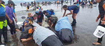 Peste 400 de balene au esuat, miercuri, in sudul Noii Zeelande. Voluntarii au reusit sa salveze doar 100 de cetacee