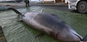 O balena a fost eutanasiata dupa ce a inghitit peste 30 de pungi de plastic aruncate in Ocean - Oamenii de stiinta spun ca astfel de cazuri sunt tot mai dese