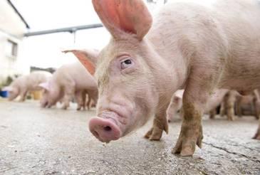 Oamenii de stiinta socheaza cu un nou proiect: cresterea de organe umane in porci. Reusita cercetatorilor a creat un adevarat scandal