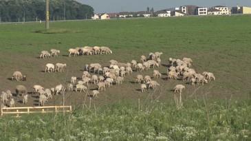 Gigi Becali si-a facut stana cu 400 de oi si toata ziua si-o petrece printre ele! Milionarul s-a intors la origini si radiaza de fericire in rolul de cioban
