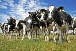 Vesti bune pentru fermieri. APIA a inceput sa plateasca azi subventiile pentru animale