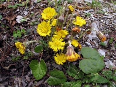 Planta de primavara care vindeca tusea si afectiunile respiratorii