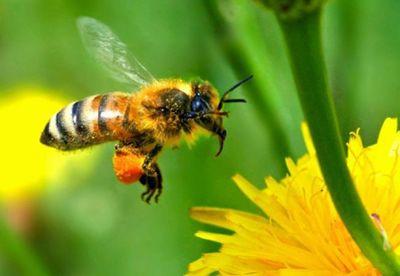 Intepatura de albina: 10 lucruri care va pot salva viata