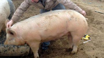 Cum aflam greutatea EXACTA a unui porc fara sa il cantarim