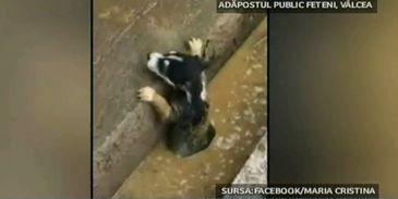 Conditiile cumplite in care traiesc cainii din adapostul public de la Ramnicu Valcea. Este un adevarat focar de infectie, iar angajatii lucreaza in mirosuri insuportabile