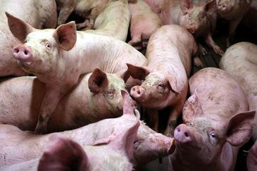 Epidemia de pesta porcina din Romania a bagat spaima in vecini! Bulgarii vor sa ridice gard la granita!