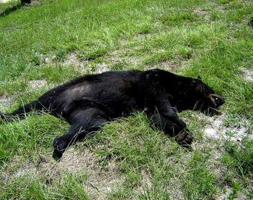 Accident neobisnuit! Un urs a fost lovit mortal pe autostrada Sibiu-Orastie!