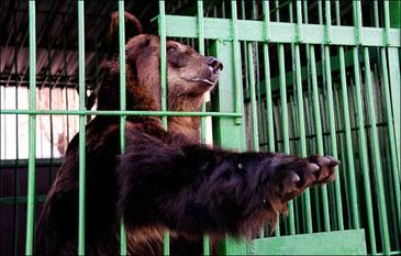Doi ingrijitori de la Gradina Zoologica Brasov au fost raniti de ursi! Una dintre victime este inconstienta