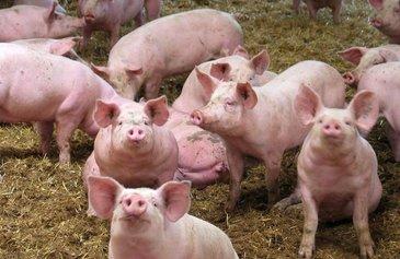 Culmea inconstientei! Porci vanduti la preturi de nimic, de teama pestei porcine!