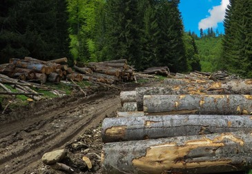 Paduri taiate in nestire si lemn furat ca-n codru. Situatia fondului forestier din Romania este dramatica