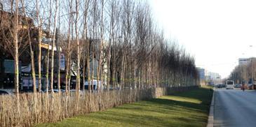 Risipa pe bani publici! Copacii de 200.000 de euro din Sectorul 3 au inceput sa se usuce