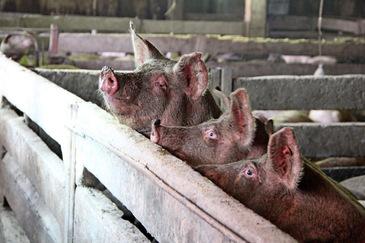 Pesta porcină lasă România cu gaură în buget. Suma pe care trebuie s-o plătească Statul gospodarilor